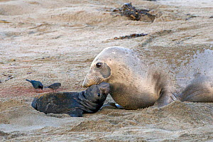 Female Northern elephant seal (Mirounga langustirostris) just given birth to a new pup, Pt Piedras Blancas, California, USA  -  Piper Mackay
