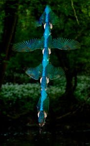 Kingfishers (Alcedo atthis) adult male diving, strobed flash, Halcyon River, England - Charlie Hamilton James