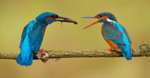"""Kingfisher (Alcedo atthias) adult male (left) courting female (right) with a fish. A """"fish pass"""" is the point at which a female accepts a mate for the season. Halcyon River, England. - Charlie Hamilton James"""