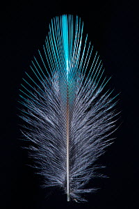 Kingfisher (Alcedo atthias) feather from back, UK.  -  Charlie Hamilton James
