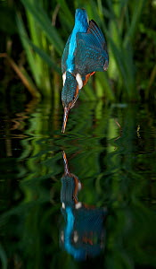 Kingfisher (Alcedo atthias) adult male diving into water, Halcyon River, England.  -  Charlie Hamilton James