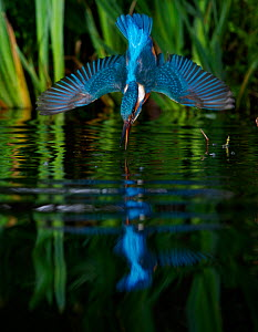 Kingfisher (Alcedo atthias) adult male diving into water, Halcyon River, Gloucestershire, England.  -  Charlie Hamilton James
