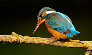 Kingfisher (Alcedo atthias) adult female searching for fish. Halcyon River, England.  -  Charlie Hamilton James