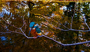 Kingfisher (Alcedo atthias) adult male in autumn. Halcyon River, England. - Charlie Hamilton James