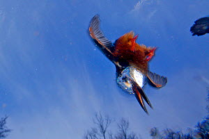 Kingfisher (Alcedo atthias) underwater view of adult male diving, Halcyon River, England.  -  Charlie Hamilton James