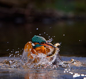 Kingfisher (Alcedo atthis) erupting out of water with fish in beak, Halcyon River, England.  -  Charlie Hamilton James
