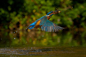 Kingfisher (Alcedo atthis) adult female erupting out of water with fish in beak, Halcyon River, England. - Charlie Hamilton James