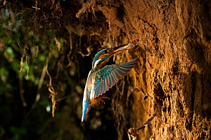 Kingfisher (Alcedo atthias) adult female flying into nest with fish. Halcyon River, England. - Charlie Hamilton James