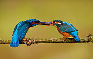 "Kingfisher (Alcedo atthias) adult male (left) courting female (right) with a fish. A ""fish pass"" is the point at which a female accepts a mate for the season. Halcyon River, England. - Charlie Hamilton James"