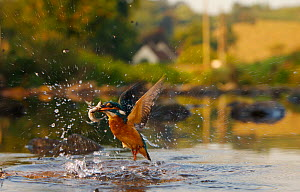 Kingfisher (Alcedo atthis) subadult female erupting out of water with fish in beak, Halcyon River, England.  -  Charlie Hamilton James
