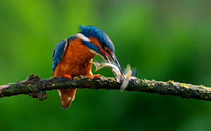 Kingfisher (Alcedo atthias) adult male killing minnow. Halcyon River, England. - Charlie Hamilton James