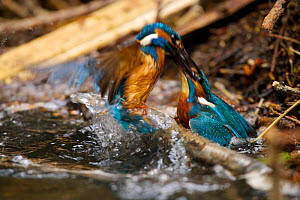 Kingfisher (Alcedo atthias) adult males fighting over territory. Halcyon River, England. - Charlie Hamilton James