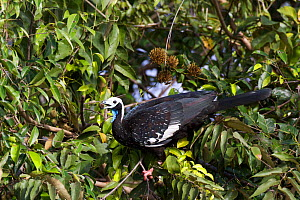 Blue-throated piping-guan (Pipile pipile) foraging for food in tree, Pantanal, Brazil.  -  Piper Mackay