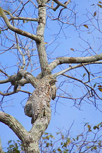 Great Potoo (Nyctibius grandis) camouflaged against the trunk of a tree, sleeping during day. Pantanal, Brazil.  -  Piper Mackay