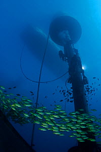 Shoal of Bluelined / Bluestriped snapper (Lutjanus kasmira) passing a diver working on a large wave-energy buoy off Kaneoho Bay, Oahu. The 40-kW experimental buoy employs the bobbing motion of the buo... - David Fleetham