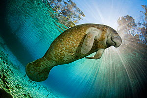 Florida Manatee (Trichechus manatus latirostris), Three Sisters Spring, Crystal River, Florida, USA. National Wildlife Federation Photo Contest Grand Prize WINNER 2010. - David Fleetham