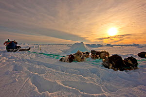 Local hunter and dog team resting on the sea ice near Ittoqqortoormiit, Scoresbysund, North East Greenland. March 2009.  -  Uri Golman