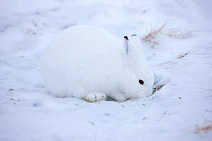 Arctic Hare (Lepus arcticus) foraging for food in the snow, Scoresbysund, Ittoqqortoormiit, North East Greenland. February 2009.  -  Uri Golman