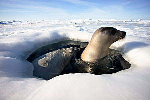 Returning female Harp seal (Phoca groenlandica ) and young white pup at breathing hole in pack ice, Iles de la Madeleine, Magdalen Island, Canadian Arctic. March 2008.  -  Uri Golman