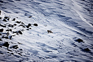 Arctic fox (Vulpes lagopus) in dark summer phase, within mountainous landscape in the snow. North East Greenland, Jameson Land, mountains, Arctic. March 2009.  -  Uri Golman