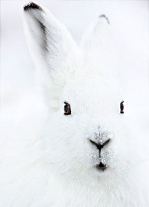 Portrait of an Arctic Snow Hare (Lepus Arcticus Groenlandicus) North East Greenland. February 2009.  -  Uri Golman
