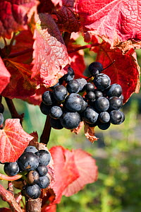 Red grapes in St. Martin's Vineyard at grape harvest, Isles of Scilly, UK.  -  Merryn Thomas