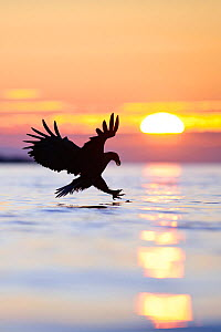White-tailed sea eagle (Haliaeetus albicilla) at sunset, silhouetted in flight, hunting for fish, Atlantic ocean, Flatanger, Norway, Scandinavia. - Sven Zacek