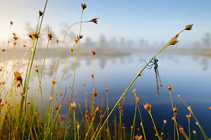 Misty morning with reflections on lake and dragonfly hanging from sedge, Estonia - Sven Zacek