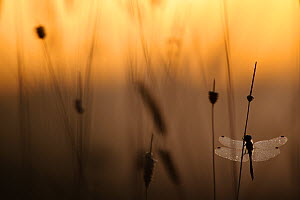 Misty morning with dragonfly silhouetted in dawn light, on lake, Estonia - Sven Zacek