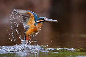 Common kingfisher (Alcedo atthis) taking off from water with fish, Estonia  -  Sven Zacek