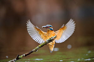 Common kingfisher (Alcedo atthis) landing on branch with fish, Estonia  -  Sven Zacek