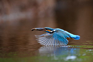 Common kingfisher (Alcedo atthis) flying low across river with a fish, Estonia - Sven Zacek