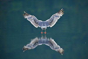 Herring gull (Larus argentatus) rear view landing on water, Atlantic ocean, Norway.  -  Sven Zacek