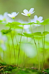 Wood sorrel  (Oxalis acetosella) flowering in woodland, in Spring, Estonia - Sven  Zacek