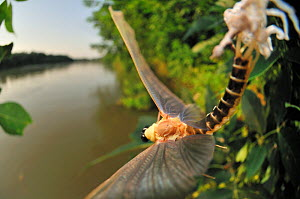 Male Long-tailed / Tisza mayfly (Palingania longicauda) concludes its last moult. By starting to fly hard towards the river the mayfly pulls its long caudal tails out of the old skin which will be lef... - Solvin Zankl