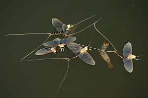 Just three hours after they hatch from the water and moult into mature adults, the male Long-tailed / Tisza mayfly (Palingenia longicauda) perish. Adult mayflies have no mouth opening and no guts. The... - Solvin Zankl