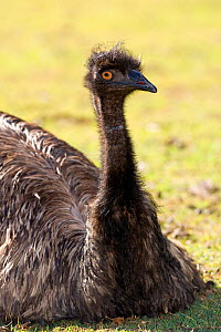 Emu (Dromaius novaehollandiae) resting on the ground in the heat of the afternoon.  Lone Pine Sanctuary, Brisbane, Queensland, Australia. Captive. - Steven David Miller