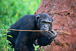 Rescued Chimpanzee (Pan troglodytes) sub-adult female licking honey off of twig during exercise to teach chimpanzees how to use twigs as tools for fishing honey out of hole in termite mound. Ngamba Is... - Suzi Eszterhas