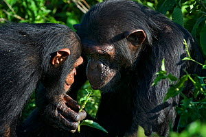 Rescued infant chimpanzee (Pan troglodytes) playing with female chimp, who acts as a surrogate mother in the infant integration program which introduces new infants into established groups. Ngamba Isl... - Suzi Eszterhas