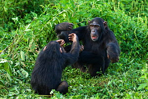 Rescued infant chimpanzee (Pan troglodytes) called Leo, plays with female chimp, who acts as a surrogate in the infant integration program, which integrates new infants into established groups Ngamba... - Suzi Eszterhas