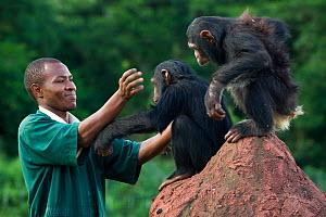 Rescued chimpanzees (Pan troglodytes) playing with  Bruce Ainebyona (Caretaker) Ngamba Island Chimpanzee Sanctuary, Uganda, Africa. Captive, June 2009. model released, *Digitally removed fence post in...  -  Suzi Eszterhas