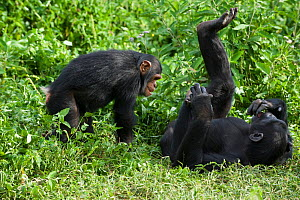Rescued Chimpanzee infant (Pan troglodytes) called Afrika plays with sub-adult female chimp (Ikuru), who acts as a surrogate in the infant integration program to integrate new infants into established... - Suzi Eszterhas