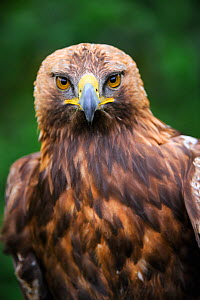 Head portrait of Golden eagle (Aquila chrysaetos) captive - Eric Baccega
