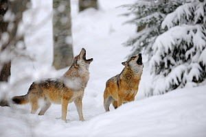 Two European grey wolves (Canis lupus) howling in winter landscape, captive. Bayerischerwald National Park, Germany. - Eric Baccega