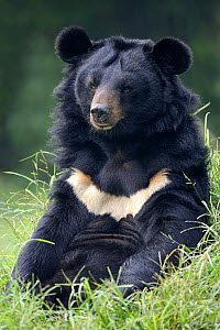 Portrait of Asiatic black bear (Ursus thibetanus) sitting, at the Chengdu rescue centre of the Animal Asia Foundation, Sichuan, China  -  Eric Baccega