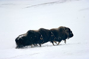 Three Muskox (Ovibos moschatus) running through snow, Banks Island, North West Territories, Canada - Eric Baccega