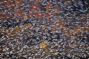 Large flock of Snow geese (Anser / Chen caerulescens) in flight, Cap Tourmente, Quebec, Canada - Eric Baccega