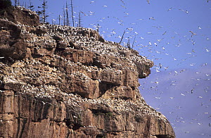 View of Northern gannet colony (Morus bassanus) on the cliffs of Bonaventure island, Quebec, Canada  -  Eric Baccega