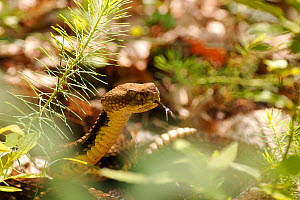 Timber rattlesnake {Crotalus horridus} amongst leaf litter with tongue exposed, New York, USA  -  James Brickell