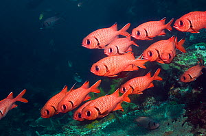 Small shoal of Bigscale soldierfish (Myripristis berndti) at rest on reef with crinoids. Rinca, Indonesia.  -  Georgette Douwma